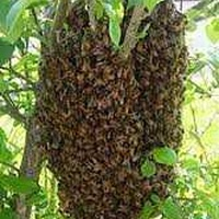 Honey bee hive swarm removal rescue