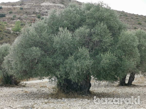 Old franks olive trees more than 700 years old-1