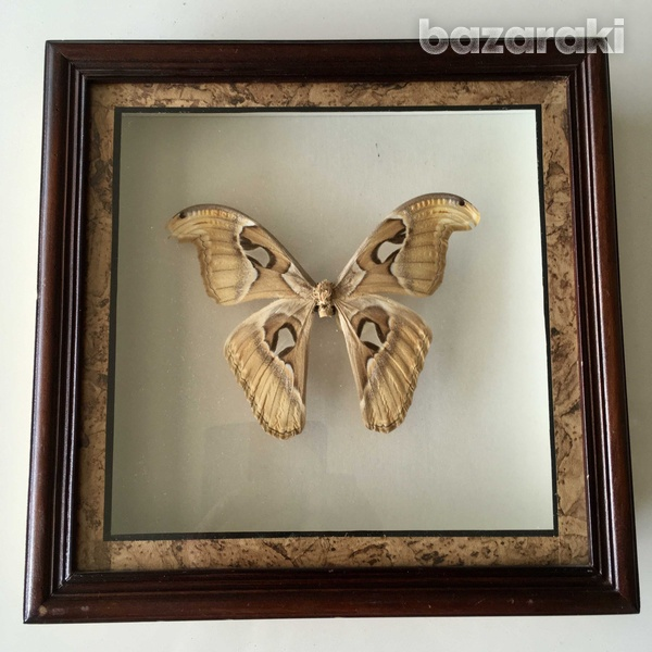 Framed big butterfly from bali-1