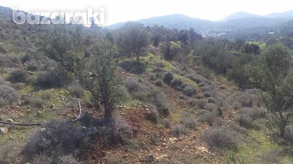 Agricultural land in psevdas village olive trees and plenty of water-5