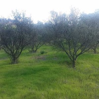 Agricultural land in psevdas village olive trees and plenty of water