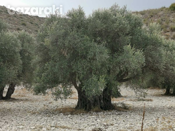 Old franks olive trees more than 700 years old-2